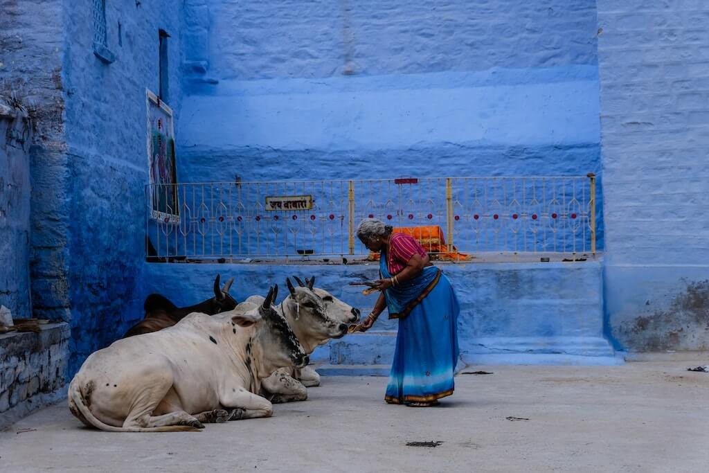 Things You'll Only See in India woman feeding cows cow worhsip vegetarians culture cultural
