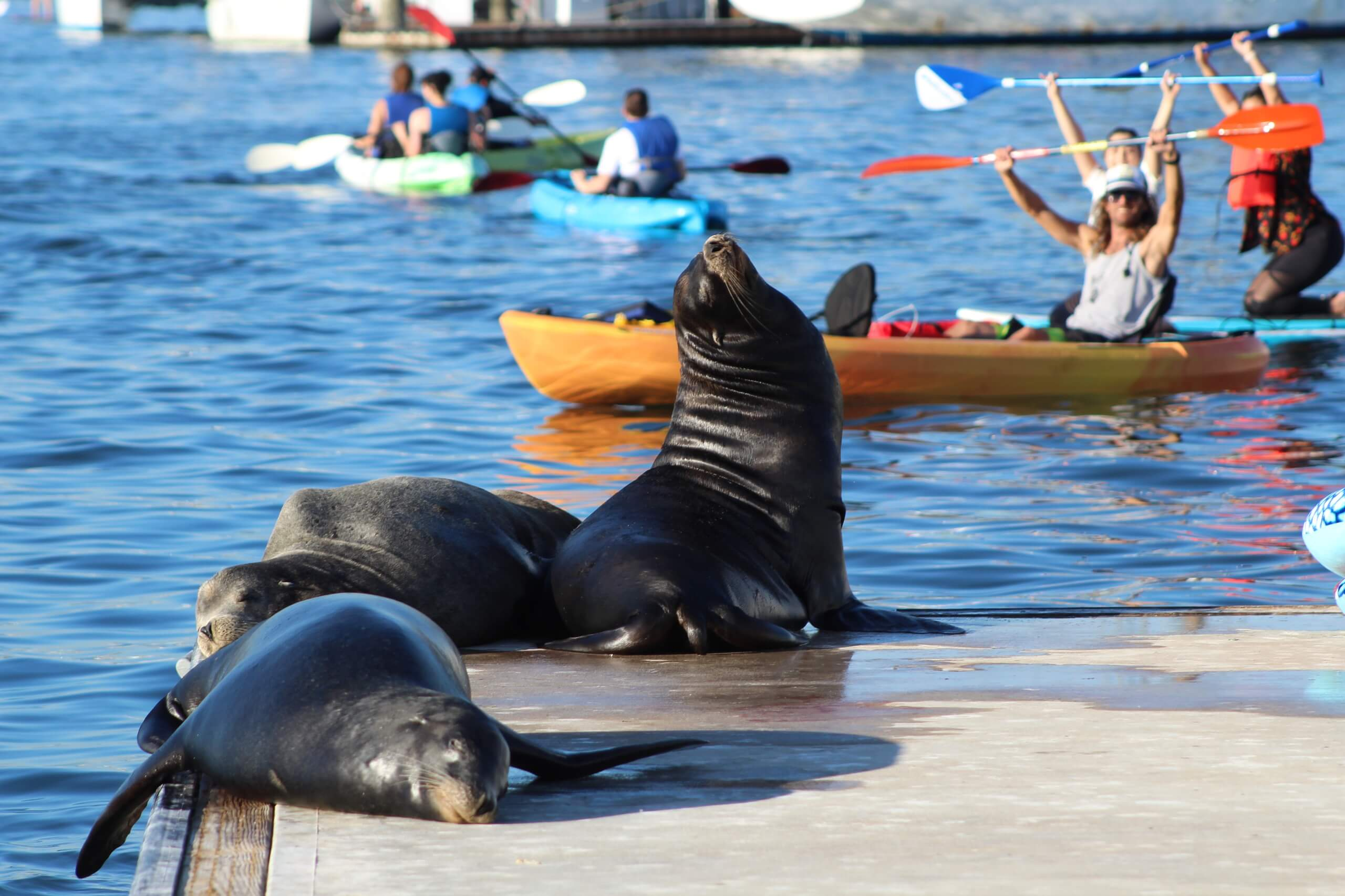 marina del rey sea lion